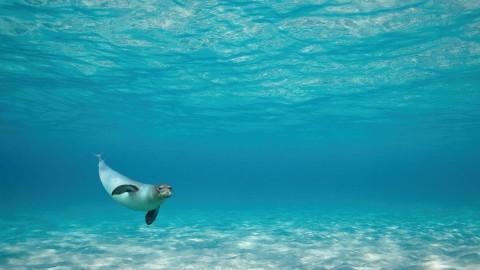 Η μοναδικη φωκια μοναχους-μοναχους απο το θαλασσιο παρκο της Αλοννησου